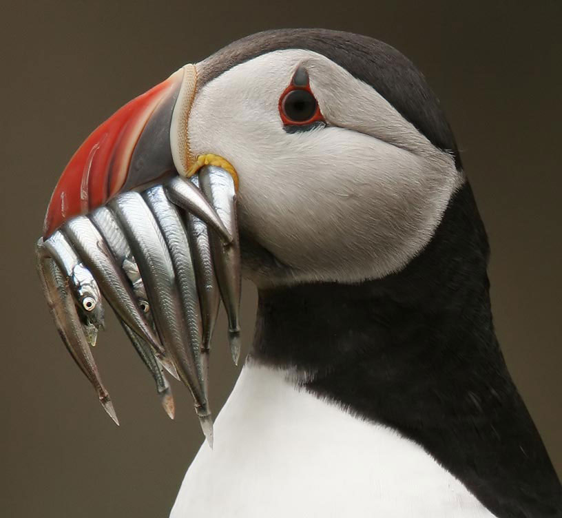 Photos of and Facts About the Puffin, My Favourite Bird ...